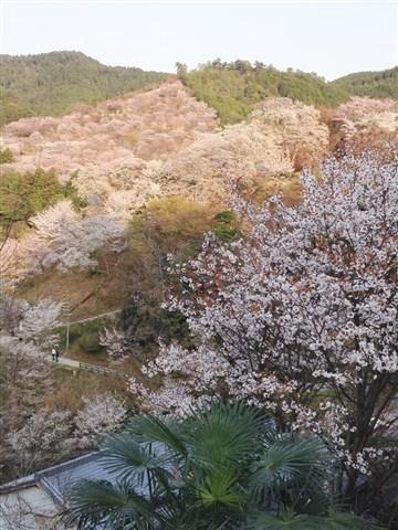 yosino sakura (1)