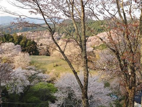 yosino sakura (2)