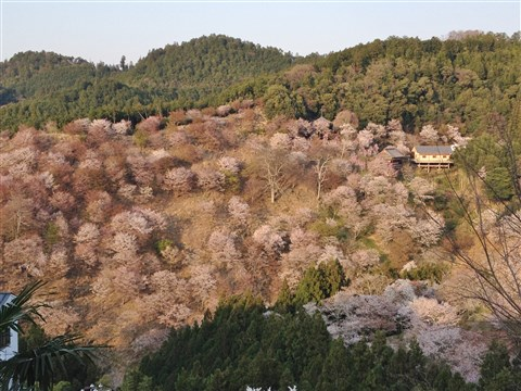 yosino sakura (3)