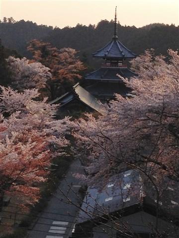 yosino sakura (5)